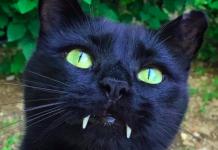 gato vampiro