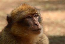 """No se llaman monos """"zampabollos"""", pero como sigan así habrá que cambiar el nombre de esta especie. EFE"""