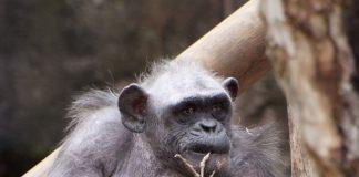 chimpancés y macacos